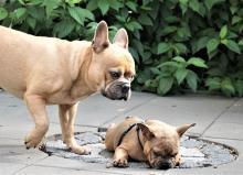 Bulldog francés. Foto: Pixabay
